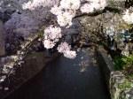 Sakura at Gion-Shijo
