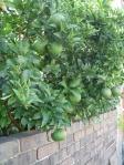 I'm still amazed oranges grow here in the gardens